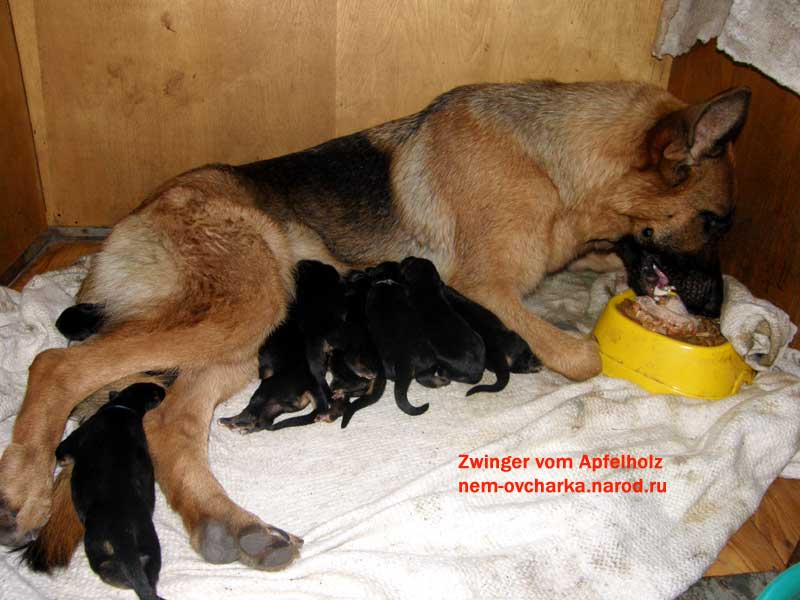 Особенности заболеваний немецких овчарок